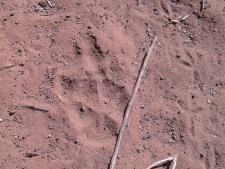 Dingo_Tracks